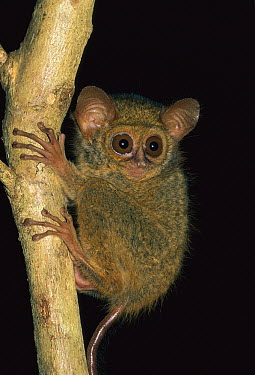 Spectral Tarsier (Tarsius tarsier) juvenile, Tangkoko Nature Reserve, Sulawesi, Indonesia  -  Thomas Marent