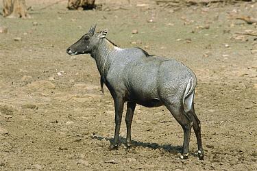 Nilgai (Boselaphus tragocamelus) male, Ranthambore National Park, India  -  Thomas Marent