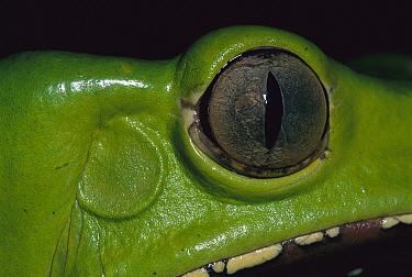 Giant Monkey Frog (Phyllomedusa bicolor) head, Tambopata-Candamo Nature Reserve, Peru  -  Thomas Marent