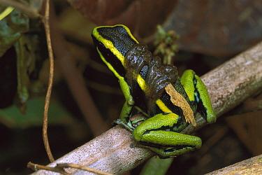 Three-striped Poison Dart Frog (Ameerega trivittata) parent carrying tadpoles to temporary ponds, Tambopata, Peru  -  Thomas Marent