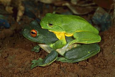Australian Red-eyed Treefrog (Litoria chloris) pair mating, Lamington National Park, Australia  -  Thomas Marent
