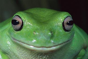White's Tree Frog (Litoria caerulea) portrait, Kakadu National Park, Australia  -  Thomas Marent