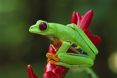 Red-eyed Tree Frog (Agalychnis callidryas) on Heliconia (Heliconia sp) flower, Cahuita National Park, Costa Rica  -  Thomas Marent