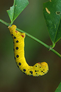 Four o'Clock Moth (Dysphania fenestrata) caterpillar, Daintree National Park, Australia  -  Thomas Marent