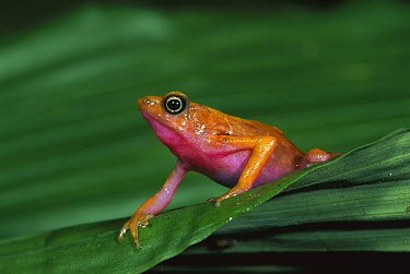Cayenne Stubfoot Toad (Atelopus flavescens) portrait, French Guiana  -  Thomas Marent