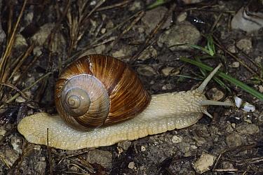 Edible Snail (Helix pomatia), Aurigeno, Switzerland  -  Thomas Marent