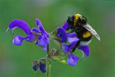 Garden Bumblebee (Bombus hortorum) feeding from Meadow Clary (Salvia pratensis), Switzerland  -  Thomas Marent
