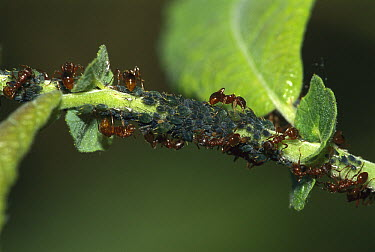 Ant (Myrmica sp) workers foraging on Aphid (Aphidoidea) colony, Switzerland  -  Thomas Marent