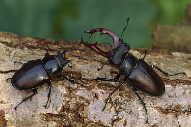 Stag Beetle (Lucanus cervus) male and female, France  -  Thomas Marent