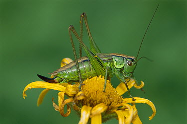 Roesel's Bush-cricket (Metrioptera roeseli) female, Switzerland  -  Thomas Marent