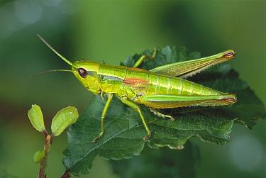 Short-horned Grasshopper (Chrysochraon brachyptera) on leaf, Switzerland  -  Thomas Marent