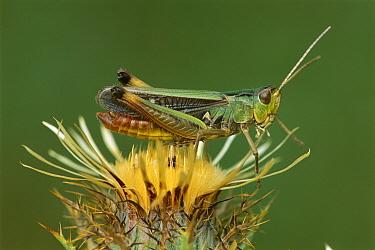 Stripe-winged Grasshopper (Stenobothrus lineatus) male, Switzerland  -  Thomas Marent