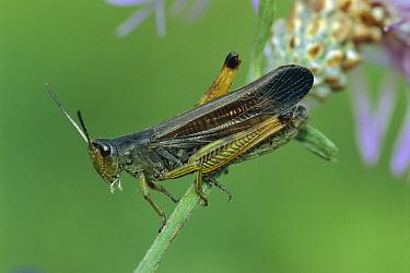 Grasshopper (Stauroderus scalaris) on flower stalk, Switzerland  -  Thomas Marent