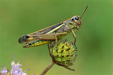 Large Marsh Grasshopper (Mecostethus grossus) female, Switzerland  -  Thomas Marent