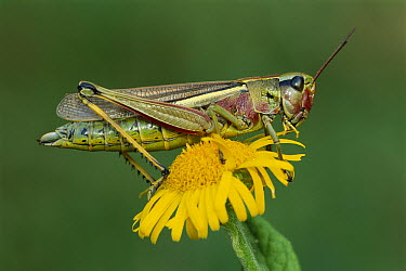 Large Marsh Grasshopper (Mecostethus grossus) female on flower, Switzerland  -  Thomas Marent