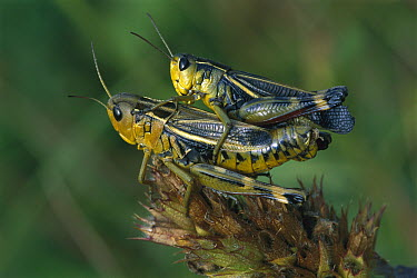 Tooth-legged Grasshopper (Arcyptera fusca) pair mating, Switzerland  -  Thomas Marent