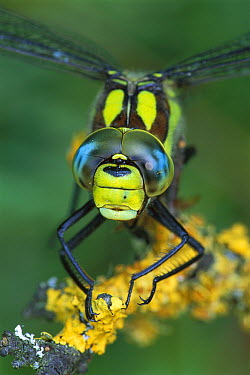 Southern Hawker Dragonfly (Aeshna cyanea) male, Switzerland  -  Thomas Marent