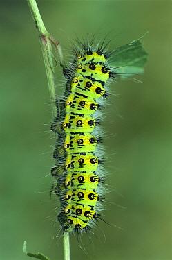 Emperor Moth (Pavonia pavonia) caterpillar eating leaf, Switzerland  -  Thomas Marent