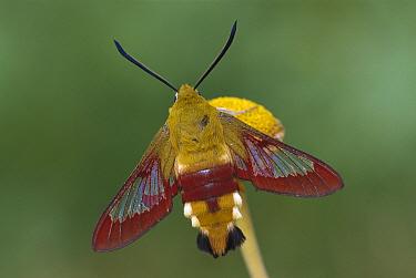 Broad-bordered Bee Hawk Moth (Hemaris fuciformis) on flower, Switzerland  -  Thomas Marent