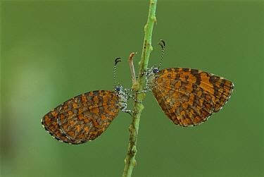 Butterfly pair in Mombasa, Kenya  -  Thomas Marent