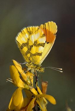 Provence Orange Tip (Anthocharis eupenoides) butterfly, Nimes, France  -  Thomas Marent