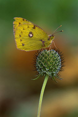 Pale Clouded Yellow (Colias hyale) butterfly, Switzerland  -  Thomas Marent