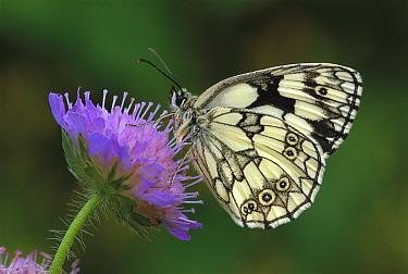 Marbled White (Melanargia galathea) butterfly on flower, Switzerland  -  Thomas Marent