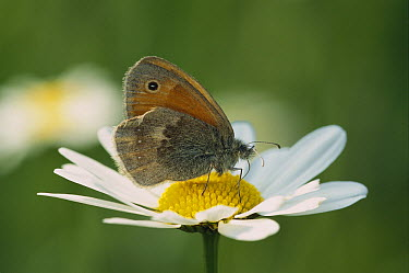 Small Heath (Coenonympha pamphilus) butterfly feeding on flower, Switzerland  -  Thomas Marent