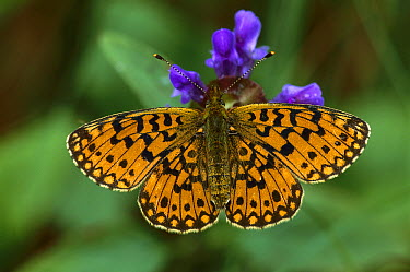 Small Pearl-bordered Fritillary (Clossiana selene) butterfly, Switzerland  -  Thomas Marent