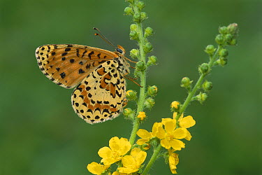 Spotted Fritillary (Melitaea didyma) butterfly male, Switzerland  -  Thomas Marent