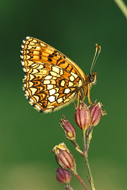False Heath Fritillary (Melitaea diamina) butterfly, Switzerland  -  Thomas Marent