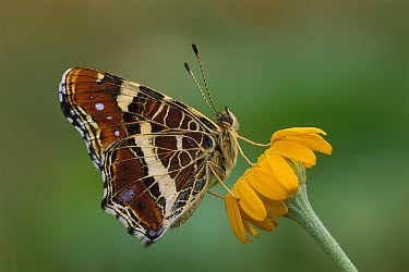 Map Butterfly (Araschnia levana) on flower, Switzerland  -  Thomas Marent