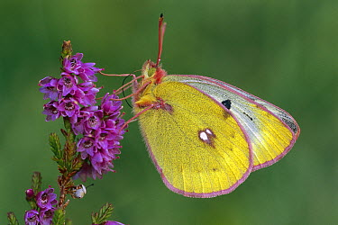 Mountain Clouded Yellow (Colias phicomone) butterfly foraging, Switzerland  -  Thomas Marent