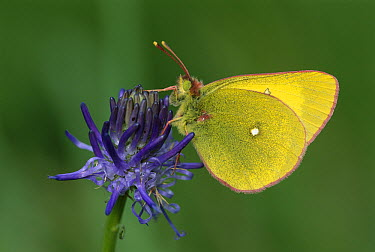 Moorland Clouded Yellow (Colias palaeno) butterfly, Switzerland  -  Thomas Marent