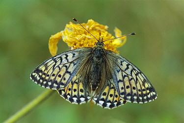 Mountain Fritillary (Boloria napaea) butterfly female, Switzerland  -  Thomas Marent