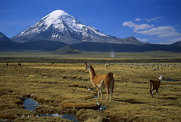 Alpaca (Lama pacos) mother and young in grassland near volcano, Lauca National Park, Chile  -  Thomas Marent