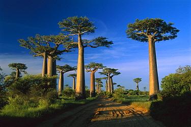 Grandidier's Baobab (Adansonia grandidieri) trees near road, Morondava, Madagascar  -  Thomas Marent