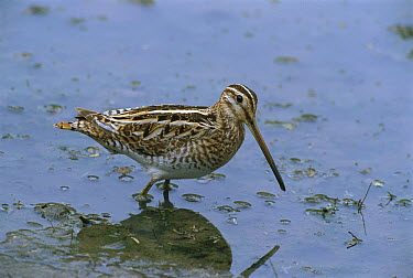 Common Snipe (Gallinago gallinago) wading, Bharatpur National Park, India  -  Thomas Marent
