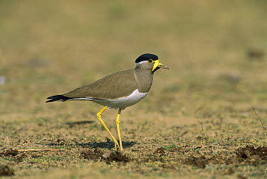 Yellow-wattled Lapwing (Vanellus malarbaricus), Bharatpur National Park, India  -  Thomas Marent