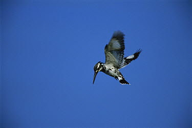 Pied Kingfisher (Ceryle rudis) hovering, Bharatpur National Park, India  -  Thomas Marent