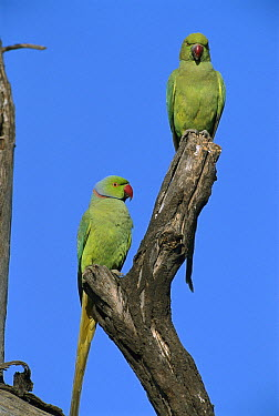 Rose-ringed Parakeet (Psittacula krameri) pair, Bharatpur National Park, India  -  Thomas Marent
