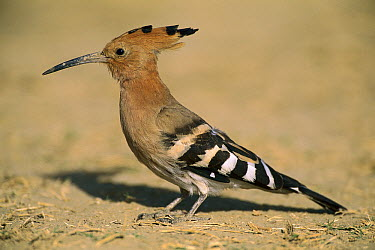 Eurasian Hoopoe (Upupa epops), Bharatpur National Park, India  -  Thomas Marent