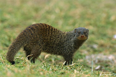 Banded Mongoose (Mungos mungo), Queen Elizabeth National Park, Uganda  -  Thomas Marent