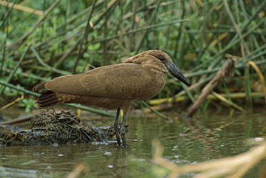 Hamerkop (Scopus umbretta), Queen Elizabeth National Park, Uganda  -  Thomas Marent
