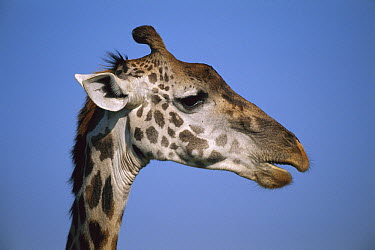 Masai Giraffe (Giraffa tippelskirchi) portrait, Masai Mara, Kenya  -  Thomas Marent