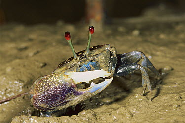 Fiddler Crab (Uca sp) male emerging from burrow, Bako National Park, Sarawak, Malaysia  -  Thomas Marent