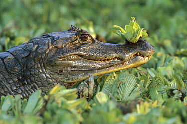 Spectacled Caiman (Caiman crocodilus) with water plant on snout, Venezuela  -  Thomas Marent