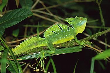 Green Basilisk (Basiliscus plumifrons) lizard male, Tortuguero National Park, Costa Rica  -  Thomas Marent