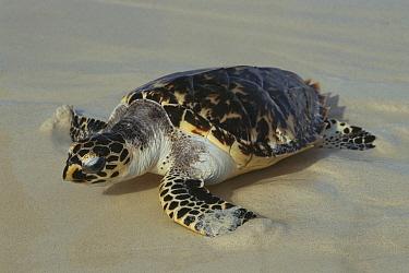 Hawksbill Sea Turtle (Eretmochelys imbricata) coming ashore, Los Roques National Park, Venezuela  -  Thomas Marent