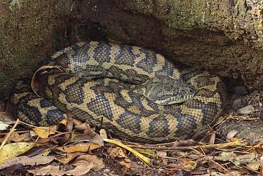 Carpet Python (Morelia spilota) curled up, Lamington National Park, Australia  -  Thomas Marent